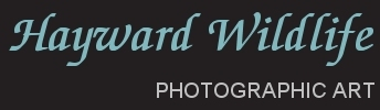 Hayward Wildlife Photography and Art